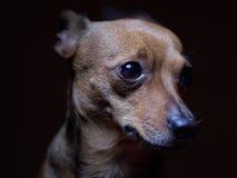 Portrait de beau terrier de jouet sur un fond foncé Photo libre de droits