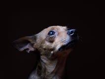 Portrait de beau terrier de jouet sur un fond foncé Photos libres de droits
