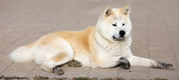 Portrait de belles trois années d'akita de chien d'inu dehors photo stock