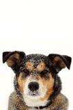 Portrait de berger allemand Dog dans la neige Photographie stock libre de droits