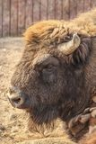 Portrait de bison européen Photographie stock