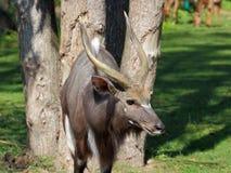 Portrait de bongo d'antilope Photos stock