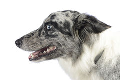 Portrait de border collie dans le studio blanc de photo Image stock