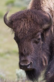 Portrait de Buffalo Photographie stock