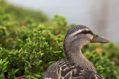 Portrait de canard Photo stock