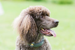 Portrait de caniche royal de chien noir Photos libres de droits
