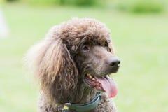 Portrait de caniche royal de chien noir Image stock