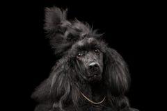 Portrait de caniche sur le fond noir Image libre de droits