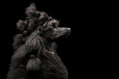 Portrait de caniche sur le fond noir Images libres de droits