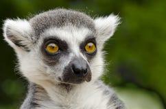 Portrait de catta de lémur Photos stock