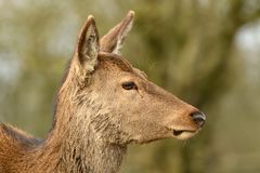 Portrait de cerfs communs Photos stock