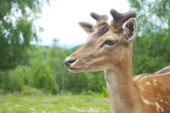 Portrait de cerfs communs Images stock