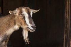 Portrait de chèvre Image stock