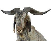 Portrait de chèvre Image libre de droits