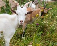 Portrait de chèvre Photographie stock