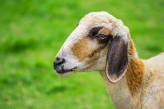 Portrait de chèvre Images stock