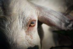 Portrait de chèvre asiatique Images stock