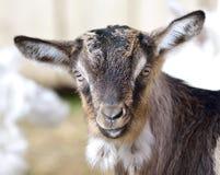Portrait de chèvre de bébé Photos stock