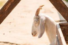 Portrait de chèvre de sommeil dans la ferme Photos libres de droits