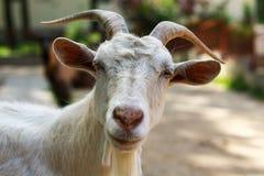 Portrait de chèvre - la vie de ferme Images libres de droits