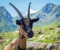 Portrait de chèvre Chèvre de montagne alpine Image stock