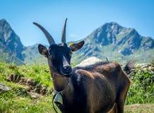 Portrait de chèvre Chèvre de montagne alpine Photographie stock libre de droits