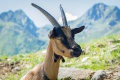 Portrait de chèvre Chèvre de montagne alpine Image libre de droits