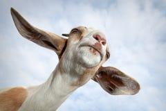 Portrait de chèvre sur le fond de ciel bleu image stock