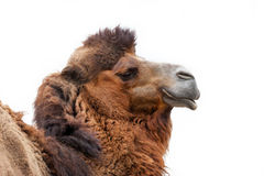 Portrait de chameau d'isolement photo stock