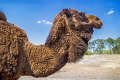 Portrait de chameau en parc de Serengeta, Allemagne Fin vers le haut Photo libre de droits