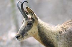 Portrait de chamois Image libre de droits