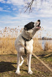 Portrait de chanter le grand chien de berger Image stock