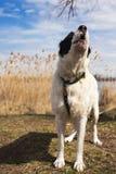 Portrait de chanter le grand chien de berger Images stock