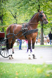 Portrait de chariot de baie conduisant le cheval Photo stock