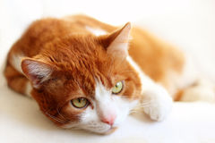 Portrait de chat Image stock