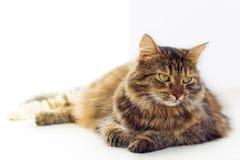 Portrait de chat aux yeux bruns d'isolement sur le fond blanc Images libres de droits