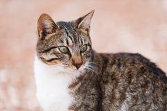 Portrait de chat chypriote Image libre de droits