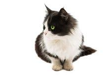 Portrait de chat d'isolement Photos stock