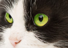 Portrait de chat d'isolement Image stock