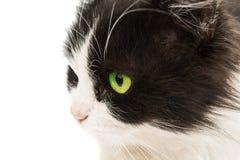Portrait de chat d'isolement Photos libres de droits
