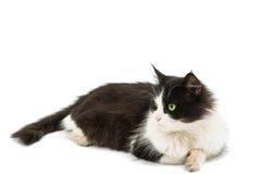 Portrait de chat d'isolement Images libres de droits