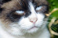 Portrait de chat d'yeux bleus Photos libres de droits