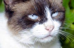 Portrait de chat d'yeux bleus Image libre de droits