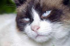 Portrait de chat d'yeux bleus Images libres de droits