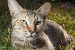 Portrait de chat dans l'herbe Photos stock