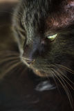 Portrait de chat/de chat Photo libre de droits