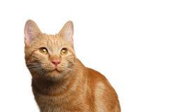Portrait de chat de gingembre sur le fond blanc d'isolement image libre de droits
