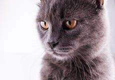 Portrait de chat des Anglais Shorthair sur un fond blanc Image libre de droits