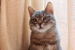 Portrait de chat domestique gris photo stock