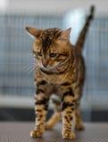 Portrait de chat du Bengale Photos stock